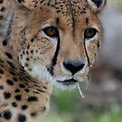 Curious Cheetah by Judson Joyce