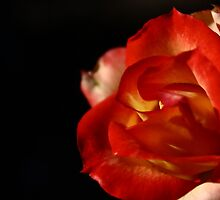 A rose by any other name... by nimbusphoto