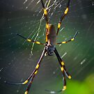 Golden Orb Weaver by Mark Snelson