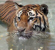 Swimming Tiger by jansphotos