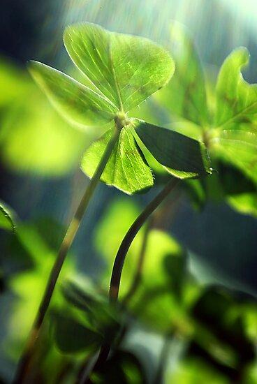 four-leafed clover by Dan Shalloe