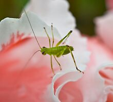 Grasshopper on Pink Flower by Mark Snelson