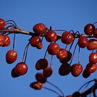 Cherries on the tree by vigor