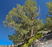 Bristle Cone Pine by Bud Walley