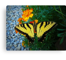 Yellow male Eastern Tiger Swallowtail Canvas Print