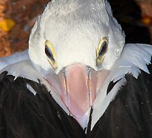Pelican Portrait - Preparing to Sleep by Carole-Anne