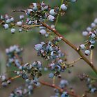 Blueberries by Bridget Vander Veen