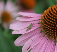 Echinacea and friend by picketty