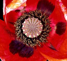 Poppy by Peter Rivron