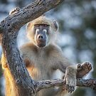 Too Laid Back – Adult Male Baboon by Owed to Nature