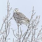 Snowy Owl 2014 4 by Thomas Young