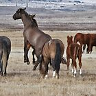 Wild Mustangs of Utah by Judson Joyce