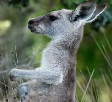 Female Eastern Grey Kangaroo - Australia by Mette  Spange