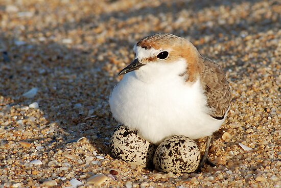 Red-Capped Plover - Australia by Mette  Spange