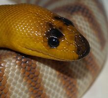 Woma Python by Steve Bullock