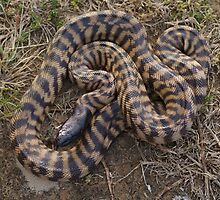 Black Headed Python - Western Australia by Steve Bullock