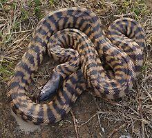 Black Headed Python - Western Australia by Steve Bullock