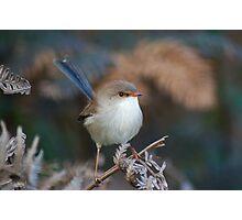Variegated Fairy-wren - Australia Photographic Print