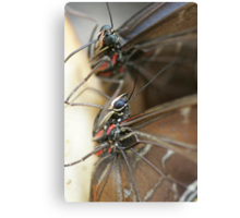 Pair of Blue Morpho Canvas Print