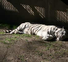Sleeping Tiger by trysten