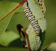 Monarch Caterpillar by Anne Smyth