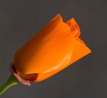 California Poppy by Tom Vaughan