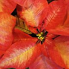 Perky Poinsettia by Monnie Ryan