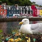 Best fed gull on Mull by Alan Forder