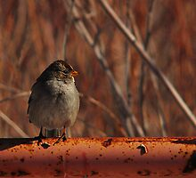 Young White-Crowned Sparrow by Ryan Houston