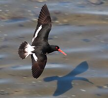 Pied Oyster Catcher In Flight,Ralphs Bay, Tasmania by David Jamrozik