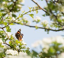 Red Admiral Butterfly by Robert Carr
