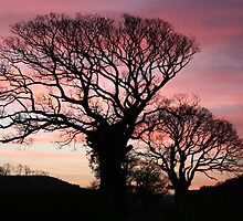 Sycamore Sunrise by geraint