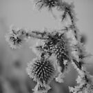 Frozen Thistle  by G. Patrick Colvin