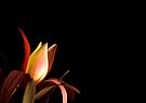 Leucadendron by prbimages