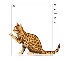 Cat Breeds: Ocicat - White Background by Martine Carlsen