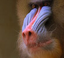 Mandrill by Neil Bygrave (NATURELENS)