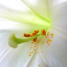 White Lilly pollen by Emma Close