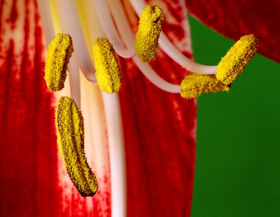amaryllis stamen by J.K. York