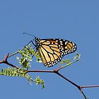 Backyard Butterfly by aaronson24
