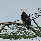 African Fish Eagle on the Lookout! by Tom Marantette