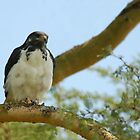 Black-chested Snake Eagle by Tom Marantette