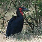 Southern Ground Hornbill by Tom Marantette