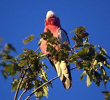 Galah in Tree  by lettie1957