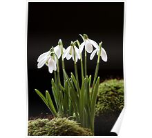 Snowdrop Flowers Poster
