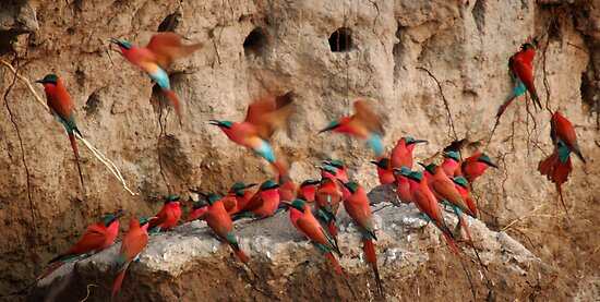 Carmine Bee-eaters by Caroline Bland