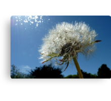 Lion's Tooth!  - Dandelion - NZ - Southland Canvas Print