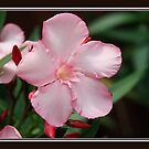 Framed Oleander by Debbie Sickler