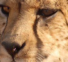 Namibian Cheetah by PPDesigns