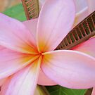 Frangipani Pink by Kathie Nichols