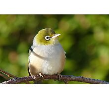 Hi My name is Ted, whats your's? - Silvereye - Wax Eye - New Zealand Photographic Print